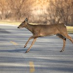 deer in roadway