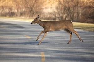 deer in roadway