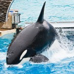 Shamu_The_Killer_Whale_At_Seaw_8395216