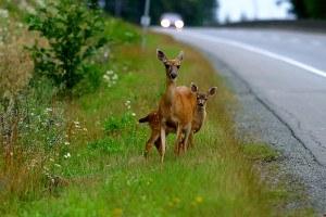 Iowa deer car collisions high in November