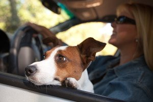 dog in driver's lap