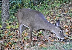 State Farm Research Shows U.S. Deer-Vehicle Collisions Declined by 4.3 Percent. (PRNewsFoto/State Farm)