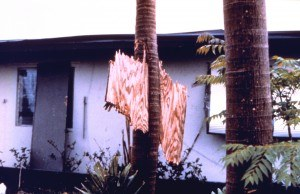 South Florida, 1992. Flying debris is a major source of damage in hurricanes as this piece of plywood driven through the trunk of a royal palm during Hurricane Andrew attests.  NOAA Photo Library, National Weather Service Collection