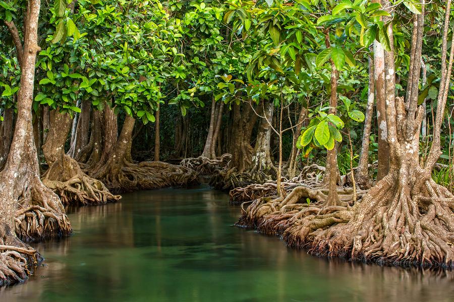 Mangrove-trees-along-the-turqu