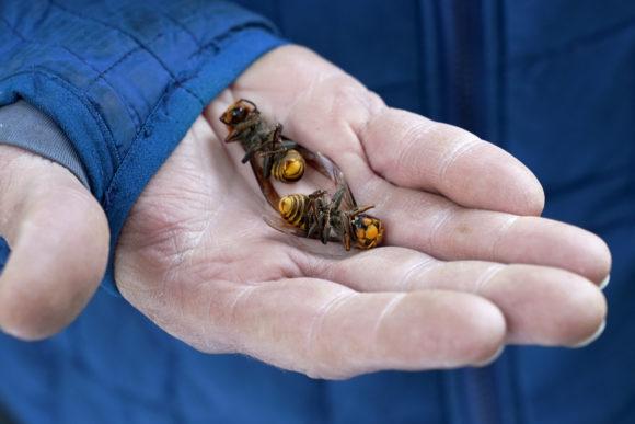 Destruction of Murder Hornets Nest Doesn't End Threat 2